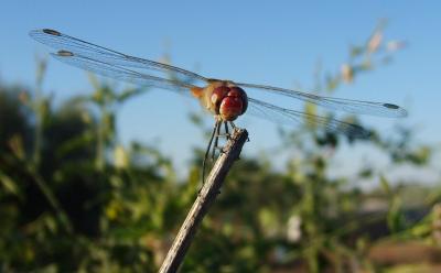 Más libélulas